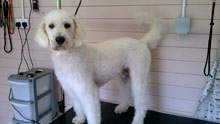 Ziggy the Dog at SmugPup Welwyn Garden City